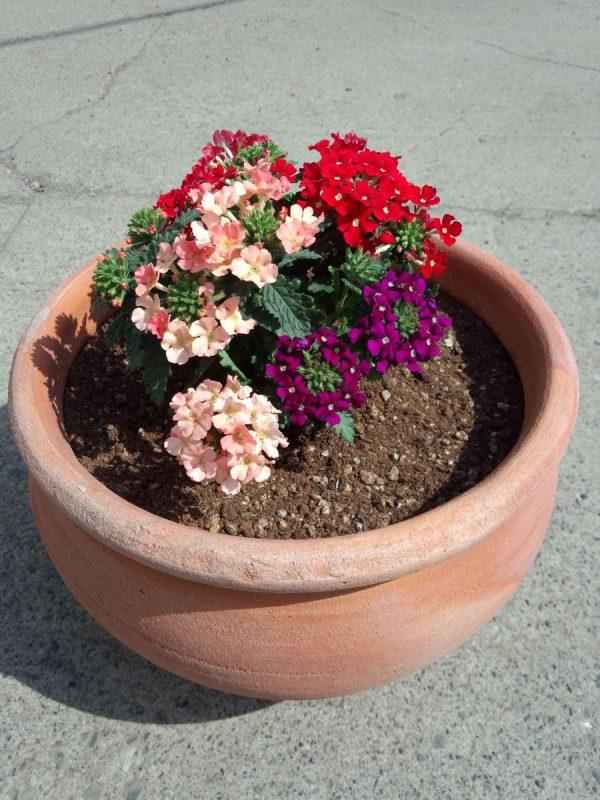 宿根バーベナペティーナ3色植えサムネイル