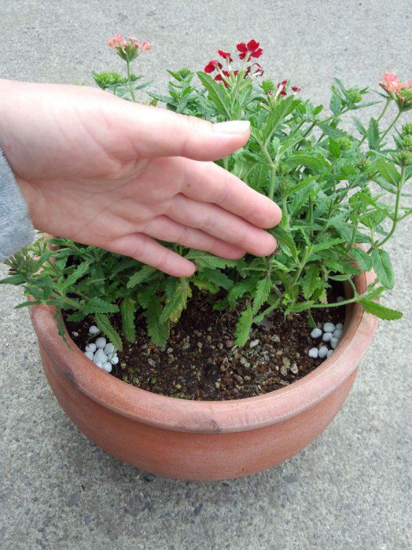 宿根バーベナペティーナ3色植え  ②サムネイル