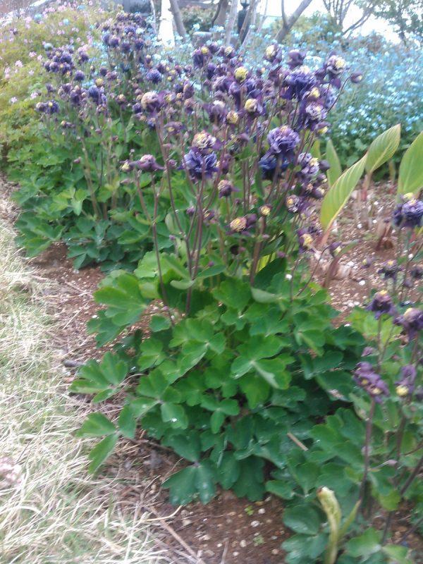 庭のオダマキサムネイル