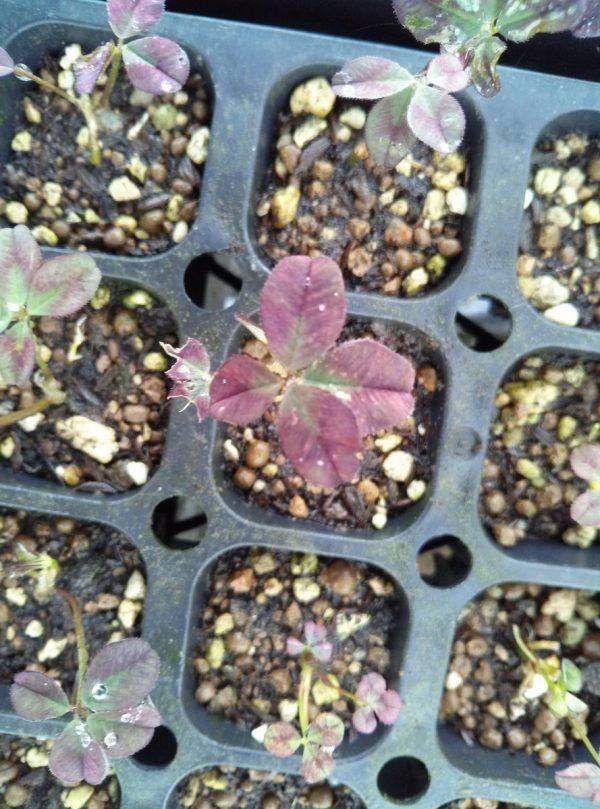 四つ葉のクローバーサムネイル