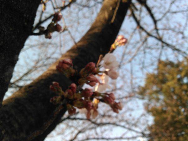 桜咲く!!サムネイル
