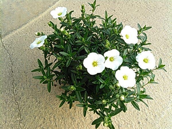 アレナリア ホワイトサマーサムネイル
