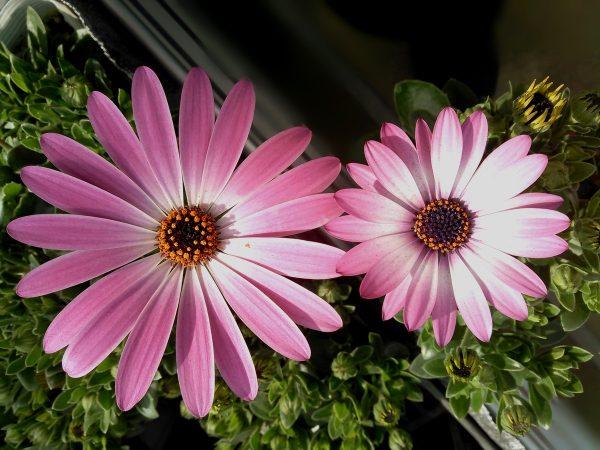 オステオスペルマム 大きいお花編サムネイル